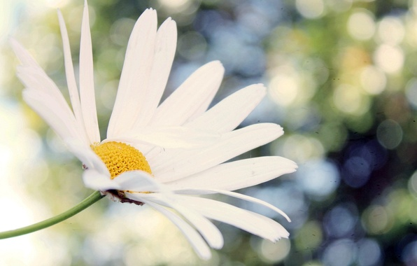 Picture white, flower, macro, flowers, background, widescreen, Wallpaper, chamomile, blur, Daisy, wallpaper, widescreen, background, bokeh, full …