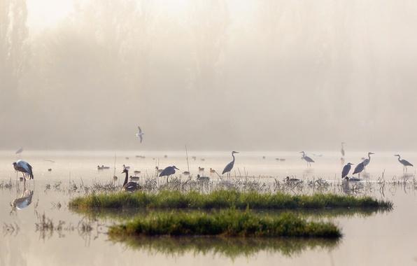 Picture birds, nature, fog, lake, morning