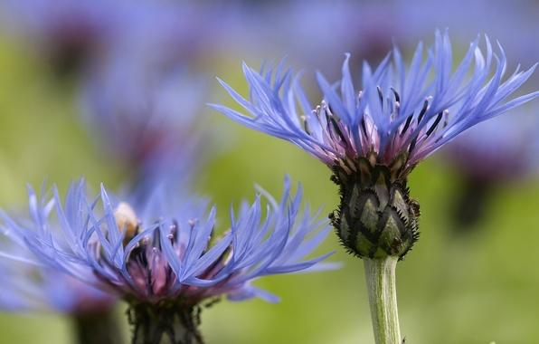 Picture macro, flowers, field, blue, cornflower, cornflowers