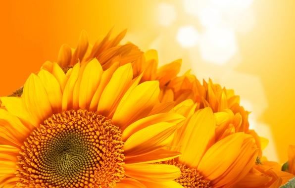 Picture sunflowers, orange, background
