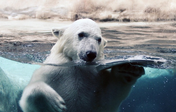 Picture white, glass, water, drops, ice, bear