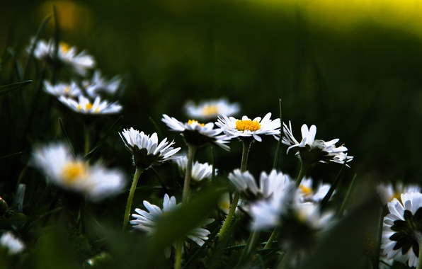 Picture grass, flowers, background, Wallpaper, glade, chamomile, plants, flowering