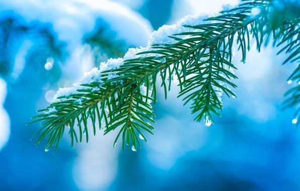 Picture winter, drops, macro, snow, needles, tree, tree, branch, Spruce, bokeh