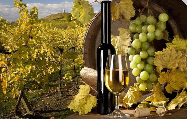 Picture wine, white, grapes, vineyard, tube, barrel
