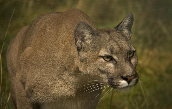Picture face, Puma, wild cat, mountain lion, Cougar
