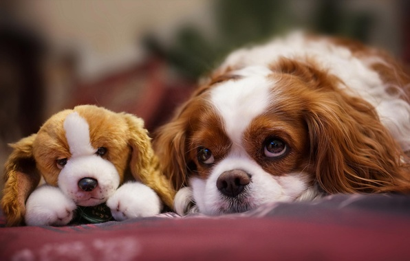 Picture look, toy, dog, muzzle, puppy