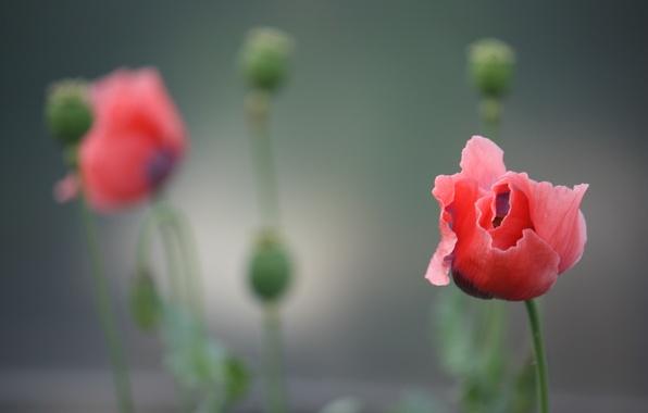 Picture flower, red, background, Mac, petals, blur, stem, buds