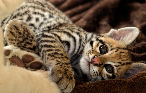 Picture cat, look, kitty, stay, ocelot