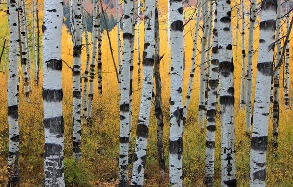 Picture autumn, trees, trunks, aspen