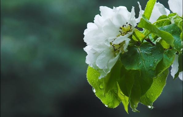 Picture macro, flowers, spring, Apple