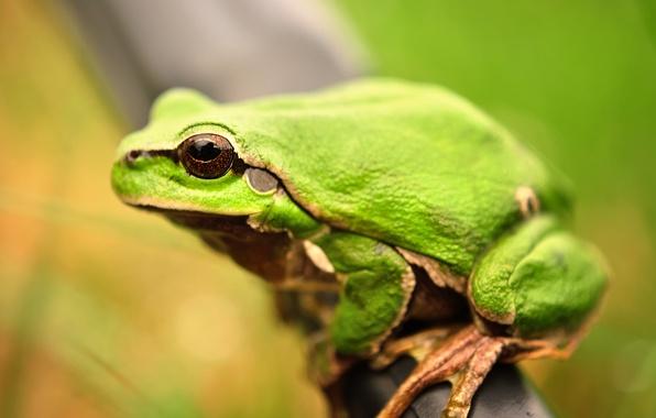 Picture macro, frog, amphibians