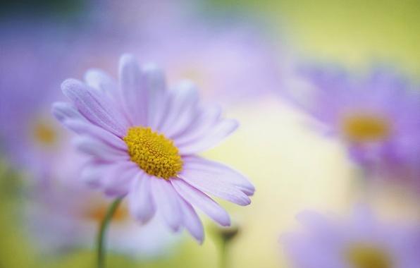 Picture macro, flowers, petals, blur, Daisy