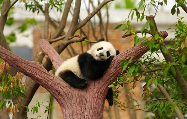 Picture tree, stay, sleep, bear, Panda, sleeping, cub