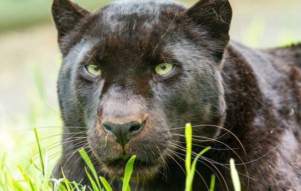 Picture cat, look, face, Panther, leopard