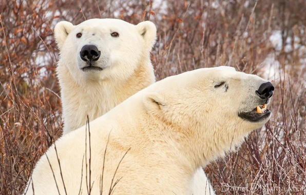 Picture branches, bears, polar bears