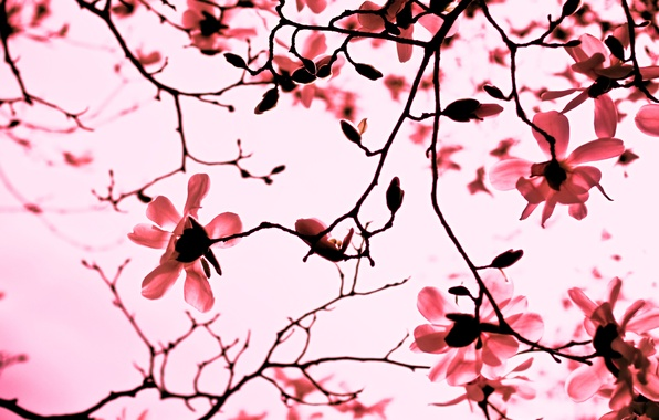 Picture flowers, branches, nature, pink, branch, spring, petals, Magnolia