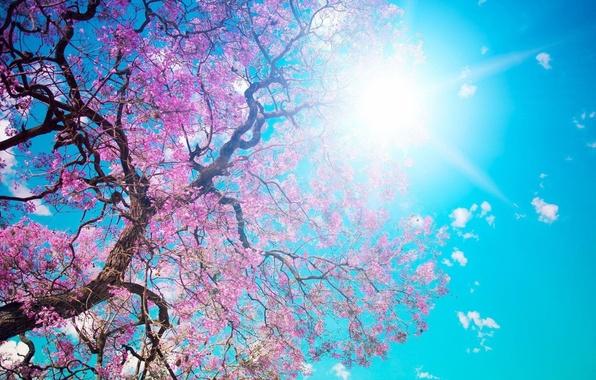 Picture summer, the sun, rays, photo, Sakura, pirada