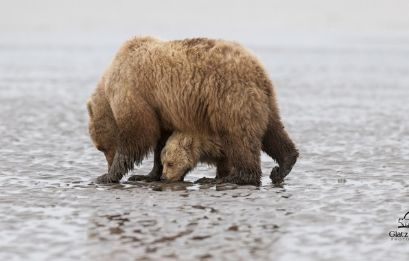 Picture bears, Alaska, bear, Alaska, cub, bear, Lake Clark National Park