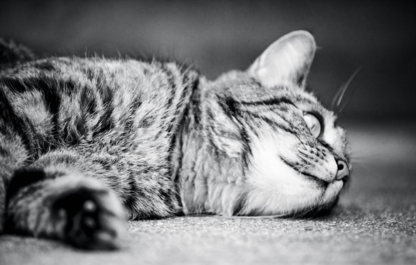 Picture cat, cat, monochrome, cat, monochrome