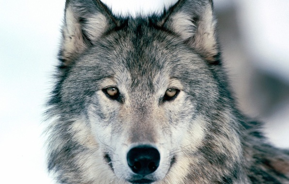 Picture Winter, Wolf, Look Into My Eyes