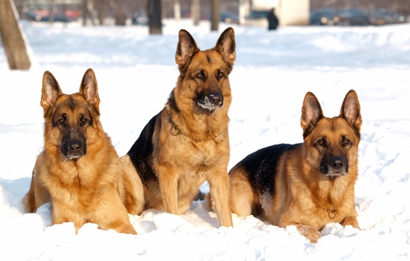 Picture winter, dogs, snow, dog, shepherd, Trinity