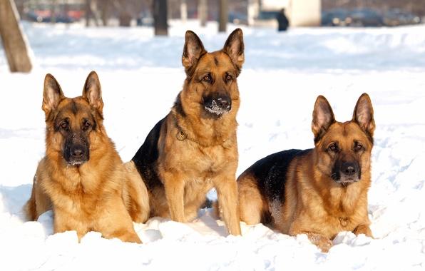 Picture winter, dogs, snow, dog, shepherd, Trinity