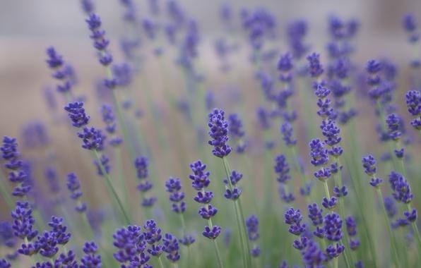 Picture field, summer, flowers, nature, blur, purple, lilac, Lavender