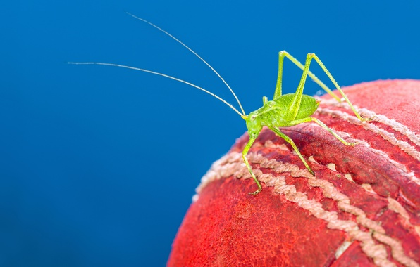 Picture red, cricket, cricket ball