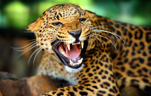 Picture face, anger, rage, mouth, leopard, fangs, grin, wild cat