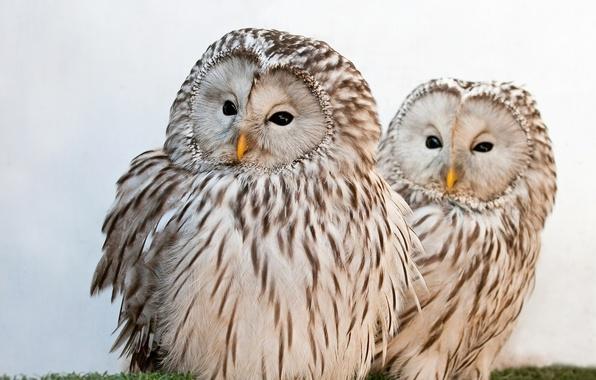 Picture owls, Ural owl, the Ural owl
