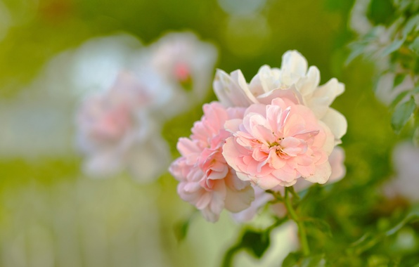 Picture greens, leaves, macro, flowers, nature, tenderness, Bush, roses, beauty, petals, blur, garden, green, pink, buds