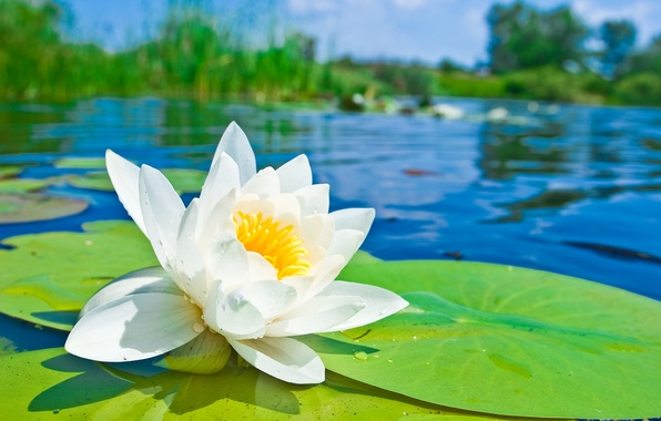 Picture flower, pond, petals, Lotus, Lily, white, pond, water Lily