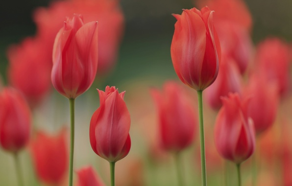 Picture spring, petals, garden, meadow, tulips
