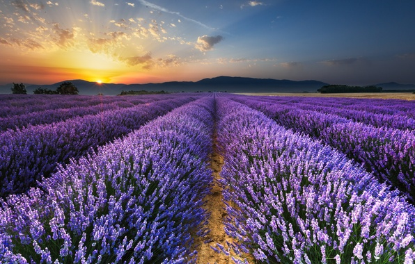 Picture field, morning, lavender