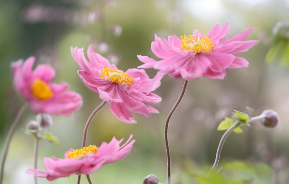 Picture paint, petals, stem, Japanese anemone, autumn anemone