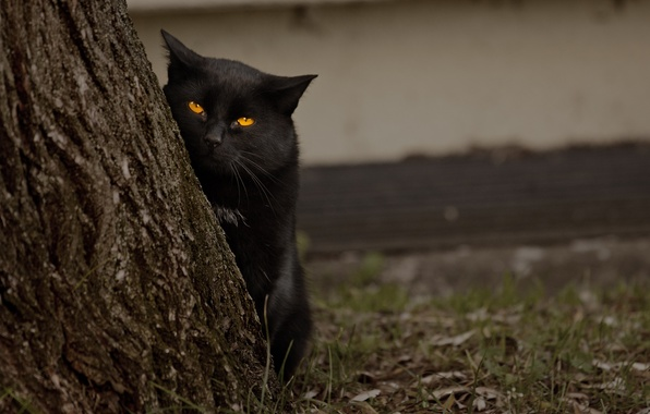 Picture eyes, cat, tree, black, looks