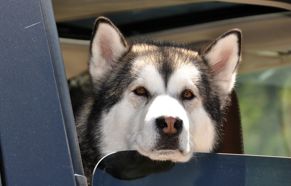 Picture dog, husky, brown eyes, wet nose