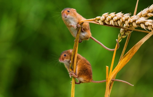 Picture macro, spikelets, ears, a couple, mouse, the mouse is tiny