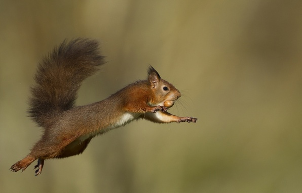 Picture flight, jump, protein, tail, animal, rodent, nut