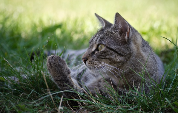 Picture cat, grass, cat, grey, profile