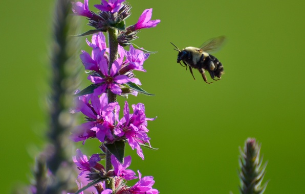 Picture flower, bee, plant, insect, bumblebee