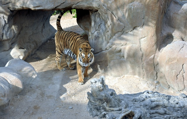 Picture cat, predator, Tiger, tiger, Valliere