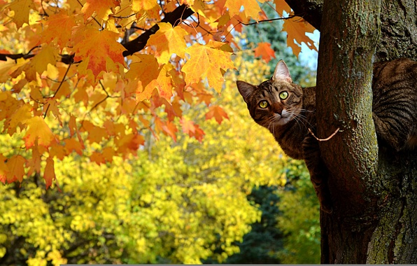 Picture autumn, cat, leaves, tree, maple, Kote, Peeps, yellow