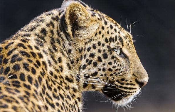 Picture face, predator, leopard, profile, wild cat