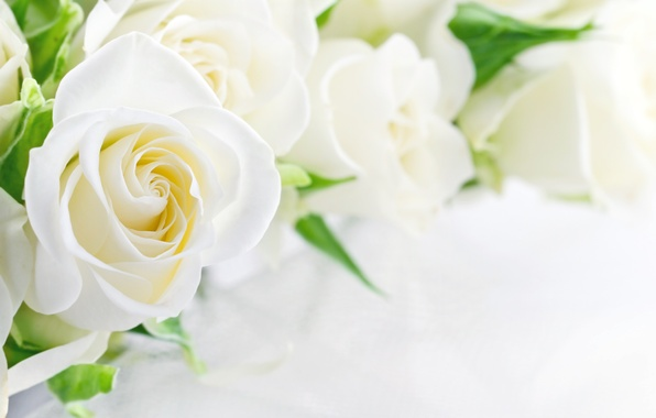 Picture flowers, Bud, white roses