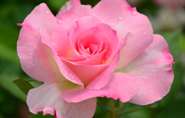 Picture flower, macro, nature, pink, rose, garden