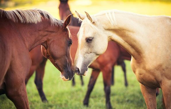 Picture animals, grass, nature, horses, pair, Horse