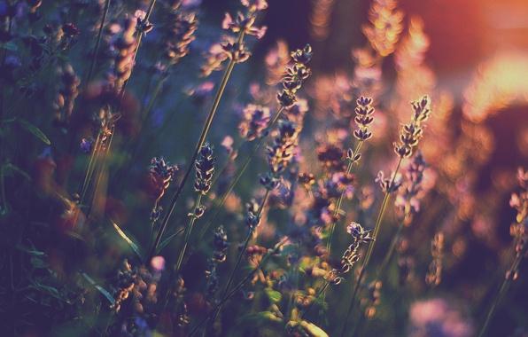 Picture light, flowers, heat, lavender, bokeh