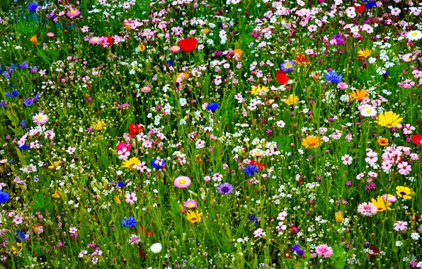 Picture field, summer, grass, nature, petals, meadow