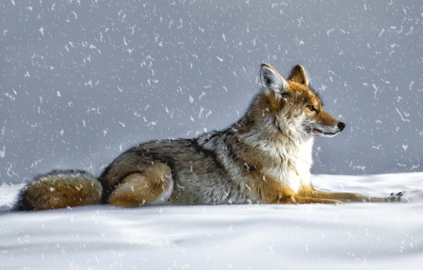 Picture winter, snow, wolf, coyote